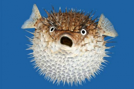 Comment faire un bonne première impression… La Technique du BlowFish